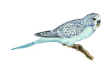 Shell Parakeet (Melopsittacus Undulatus), Birds Photo by  Encyclopaedia Britannica