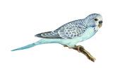 Shell Parakeet (Melopsittacus Undulatus), Birds Photo
