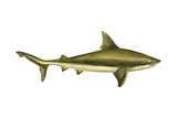 Brown Shark (Carcharhinus Milberti), Fishes Posters por  Encyclopaedia Britannica