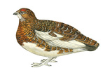 Willow Ptarmigan (Lagopus Lagopus), Birds Affiches par  Encyclopaedia Britannica