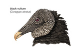 Head of Black Vulture (Coragyps Atratus), Birds Reproduction sur métal par  Encyclopaedia Britannica