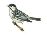 Black-Poll Warbler (Dendroica Striata), Birds Poster par  Encyclopaedia Britannica