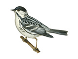 Black-Poll Warbler (Dendroica Striata), Birds Poster by  Encyclopaedia Britannica