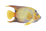 Angelfish (Holacanthus Ciliaris), Fishes Prints by  Encyclopaedia Britannica