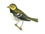 Black-Throated Green Warbler (Dendroica Virens), Birds Prints by  Encyclopaedia Britannica
