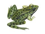 Leopard Frog (Rana Pipiens), Amphibians Print by  Encyclopaedia Britannica