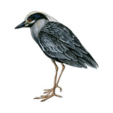 Yellow-Crowned Night Heron (Nyctanassa Violacea), Birds Print by  Encyclopaedia Britannica