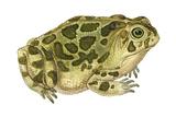 Great Plains Toad (Bufo Cognatus), Amphibians Prints