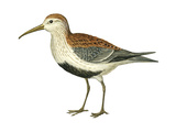 Red-Backed Sandpiper (Calidris Alpina Pacifica), Birds Poster by  Encyclopaedia Britannica