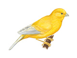 Canary (Serinus Canaria), Birds Prints by  Encyclopaedia Britannica