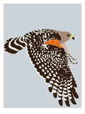 Red Shouldered Hawk Art by Jorey Hurley