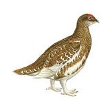 Rock Ptarmigan (Lagopus Mutus), Birds Prints