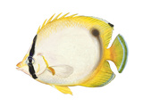 Butterflyfish (Chaetodon Ocellatus), Fishes Prints by  Encyclopaedia Britannica
