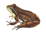 Chorus Frog (Pseudacris Ornata) , Amphibians Prints