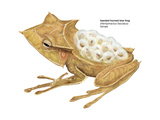 Banded Horned Tree Frog (Hemiphractus Fasciatus), Amphibians Posters by  Encyclopaedia Britannica