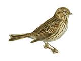 Vesper Sparrow (Pooecetes Gramineus), Birds Stretched Canvas Print by  Encyclopaedia Britannica