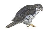 Gyrfalcon (Falco Rusticolus), Birds Posters by  Encyclopaedia Britannica