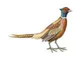 Ring-Necked Pheasant (Phasianus Colchicus), Birds Photographie par  Encyclopaedia Britannica