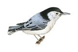 White-Breasted Nuthatch (Sitta Carolinensis), Birds Poster