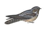 Goatsucker or Nightjar (Caprimulgus Europaeus), Birds Posters by  Encyclopaedia Britannica