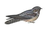 Goatsucker or Nightjar (Caprimulgus Europaeus), Birds Posters