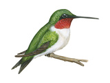 Ruby-Throated Hummingbird (Archilochus Colubris), Birds Posters by  Encyclopaedia Britannica
