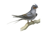Crested Tree Swift (Hemiprocne Longipennis), Birds Posters by  Encyclopaedia Britannica