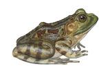 Bullfrog (Rana Catesbeiana), Amphibians Posters by  Encyclopaedia Britannica