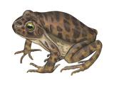 Barking Frog (Eleutherodactylus Latrans), Amphibians Prints by  Encyclopaedia Britannica