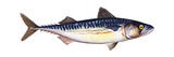Atlantic Mackerel (Scomber Scombrus), Fishes Posters