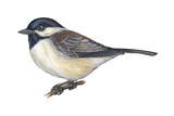Carolina Chickadee (Parus Carolinensis), Birds Print by  Encyclopaedia Britannica