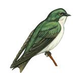 Tree Swallow (Tachycineta Bicolor), Birds Stretched Canvas Print by  Encyclopaedia Britannica
