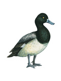 Greater Scaup (Aythya Marila), Duck, Birds Stretched Canvas Print by  Encyclopaedia Britannica