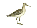 Solitary Sandpiper (Tringa Solitaria), Birds Print by  Encyclopaedia Britannica