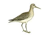 Solitary Sandpiper (Tringa Solitaria), Birds Print