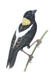 Bobolink (Dolichonyx Oryzivorus), Birds Reproduction sur métal par  Encyclopaedia Britannica