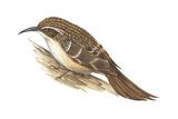 Creeper (Certhia Familiaris), Birds Posters by  Encyclopaedia Britannica
