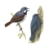 (Left) Red-Tailed Vanga-Shrike (Calicalicus Madagascariensis) Posters by  Encyclopaedia Britannica