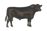 Angus Bull, Beef Cattle, Mammals Posters