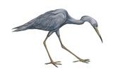 Little Blue Heron (Egretta Caerulea), Birds Poster by  Encyclopaedia Britannica
