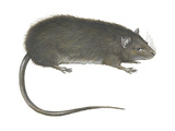 Greater Bandicoot Rat (Bandicota Indica), Mammals Photo