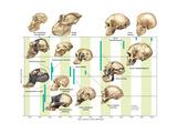 The Increase in Hominid Cranial Capacity over Time. Evolution Poster van  Encyclopaedia Britannica