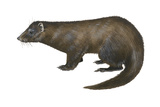 American Mink (Neovison Vison), Weasel, Mammals Poster