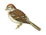 Field Sparrow (Spizella Pusilla), Birds Stretched Canvas Print by  Encyclopaedia Britannica