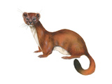 Ermine (Mustela), Weasel, Mammals Photo by  Encyclopaedia Britannica