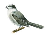 Canada Jay (Perisoreus Canadensis), Birds Posters by  Encyclopaedia Britannica