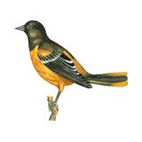 Baltimore Oriole (Icterus Galbula), Birds Reproduction sur métal par  Encyclopaedia Britannica