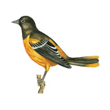 Baltimore Oriole (Icterus Galbula), Birds Prints by  Encyclopaedia Britannica