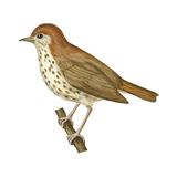 Wood Thrush (Hylocichla Mustelina), Birds Prints by  Encyclopaedia Britannica