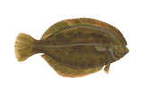 Flounder (Pseudopleuronectes Americanus), Fishes Posters by  Encyclopaedia Britannica